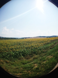 Sunflower fields forever!